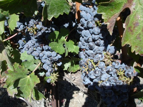 Cabernet_Sauvignon grapes