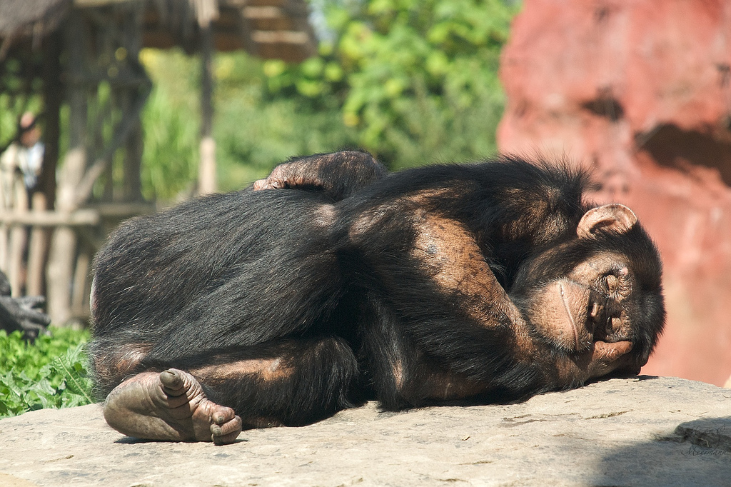 Sleeping monkey 2