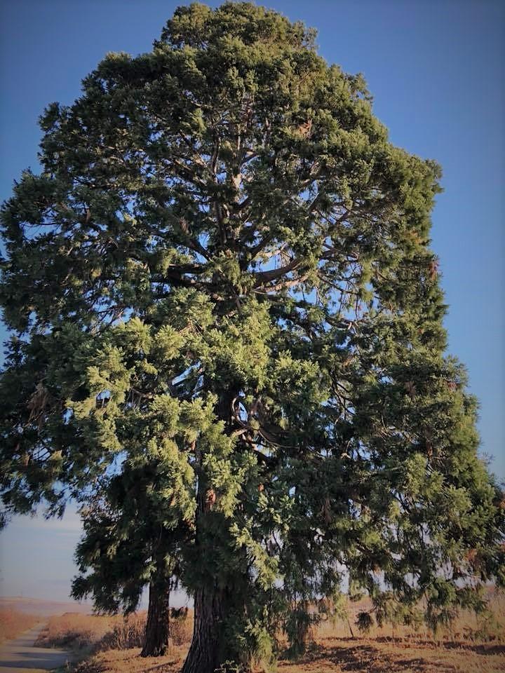 Arborele sequoia  de la Crama MaxiMarc